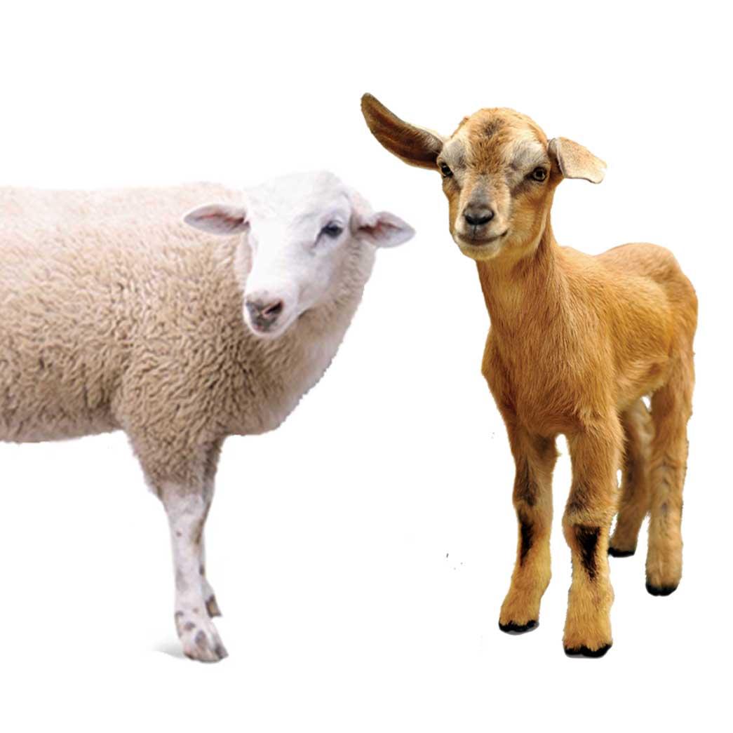 Bbt sending sheep online dating