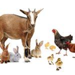 1 Goat, 2 Ducks, 3 Rabbits, & 4 Chickens