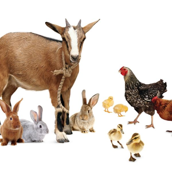 1 Goat, 2 Ducks, 3 Rabbits, & 4 Chickens